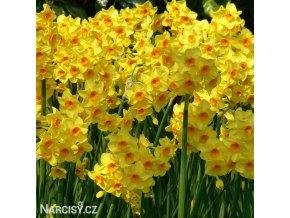 žlutooranžový narcis martinette 4