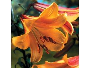 Lilie African queen 1