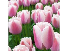 Tulipán - Ollioules