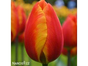 Tulipan Apeldoorn elite 5