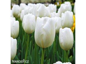 bílý tulipán hakuun 2