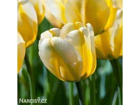 žlutobílý tulipán jaap groot 1