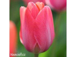 ruzovy tulipan van eijk 1