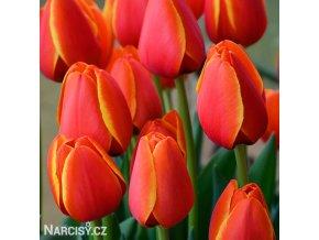 cerveny tulipan worlds favourite 4