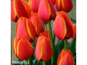Tulipan Worlds favourite 5