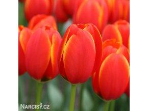 Tulipan Worlds favourite 1