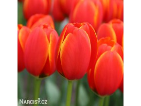 Tulipan Worlds favourite 1