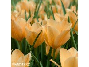 oranzovy tulipan batalinii bright gem 1