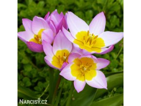 Tulipán Bakeri lilac Wonder 1