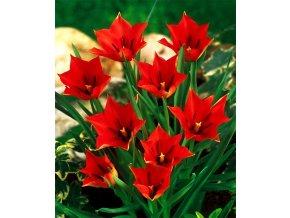 Tulipan Linifolia 1