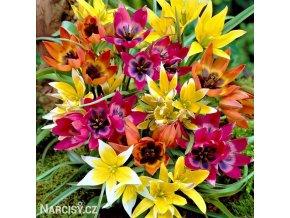 Smes nizkych tulipanu Mix botanickych tulipanu 1
