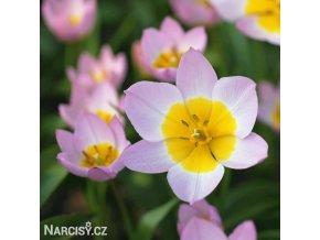 ruzovozluty tulipan saxatilis 1