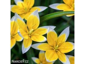 zlutobily tulipan tarda 1