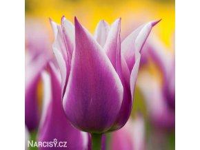 bilofialovy tulipan ballade 1