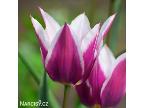 fialovy tulipan claudia 1