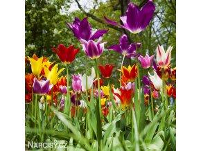 Tulipany Lilyflowering mixed 2