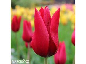 Tulipany Pieter de leur 1