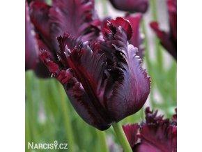 Tulipán papouškovitý - Black parrot