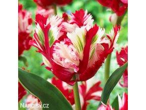 Tulipan Estella rijnveld 1