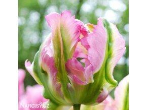 Tulipan Green wave 3