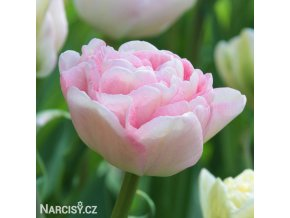 ruzovy plnokvety tulipan angelique 0