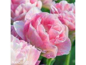 Tulipany Angelique 1