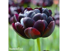 cerny plnokvety tulipan black hero 1