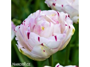bily plnokvety tulipan danceline 1