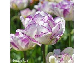 bilofialovy plnokvety tulipan double shirley 1