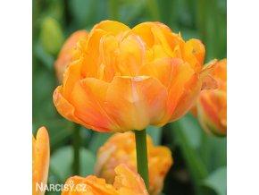 oranzovy plnokvety tulipan granny award 1