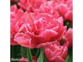 ruzovy plnokvety tulipan chato 3
