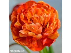 oranzovy plnokvety tulipan sunlover 1