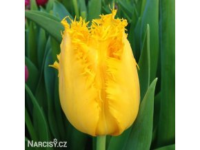 Tulipan Crispy gold 1