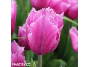 ruzovy trepenity tulipan louvre 1