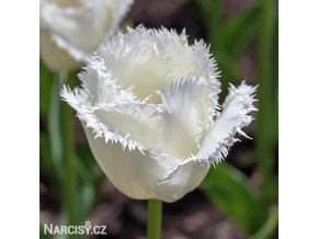 bily trepenity tulipan honeymoon 1