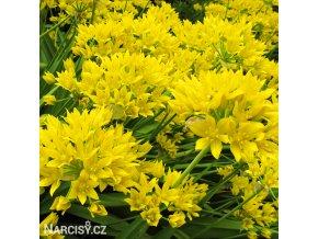 Česnek - Allium Moly Luteum