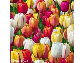 tulipan darwinuv smes barev mix 4