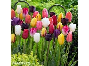 tulipan darwinuv smes barev mix 5