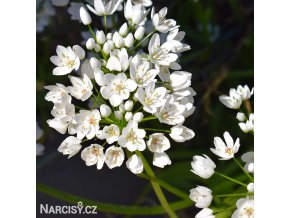 Česnek Allium Neapolitanum 1