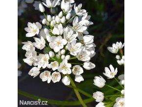 bily cesnek allium neapolitanum 1
