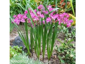 Česnek Allium Oreophilum 5