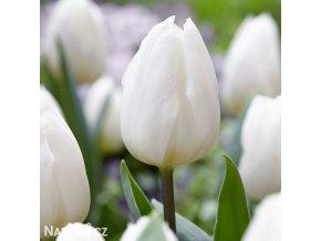 bily tulipan antarctica 1