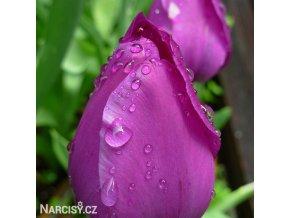 fialovy tulipan triumph negrita 4