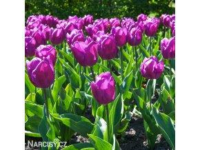 Tulipán Triumph Negrita 6