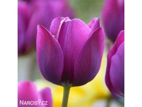 fialovy tulipan triumph negrita 1