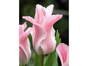 Tulipán Triumph Miss elegance 1