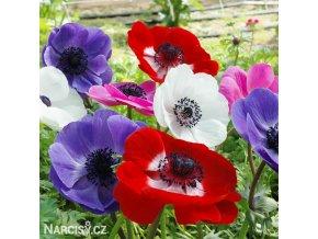 sasanka anemone de caen mix 1