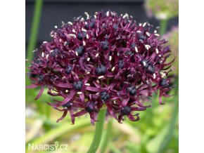 Česnek Allium Atropurpureum 1
