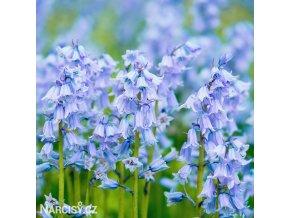 hyacintovec spanelsky hyacinthoides hispanica 1
