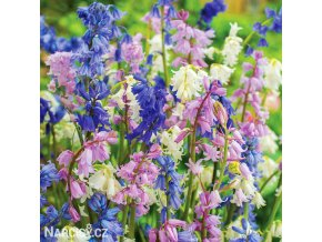 hyacintovec spanelsky smes hyacinthoides hismanica mix 1
